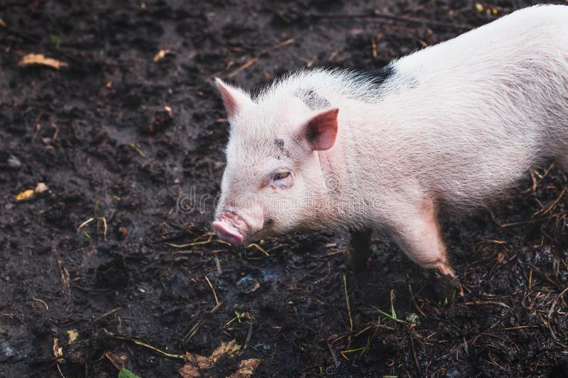 Cute domestic Vietnamese pink pig in the mud at a home mini farm. Close-up stock images