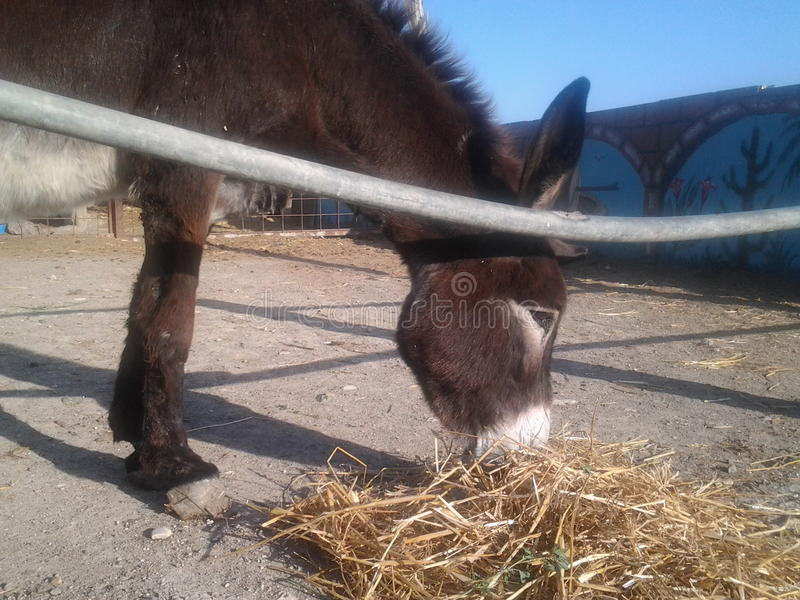 Cute donkey in the farm eating animals royalty free stock images