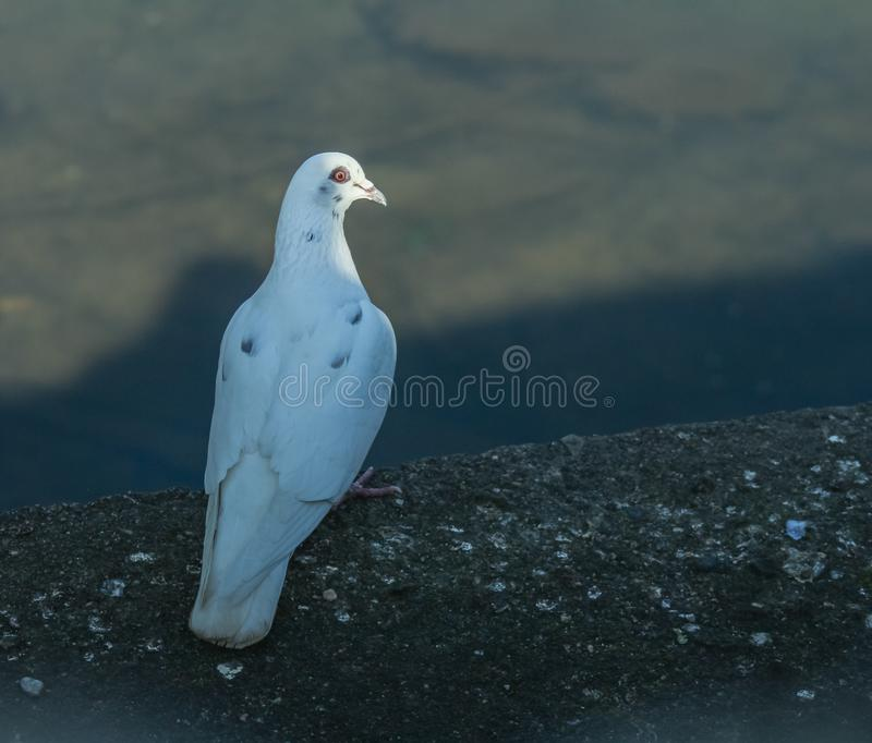 A white dove is looking at a plain. stock photography