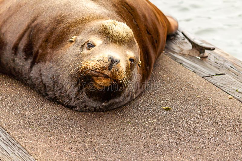 cute drowsy sealion looks up from nap on dock stock image