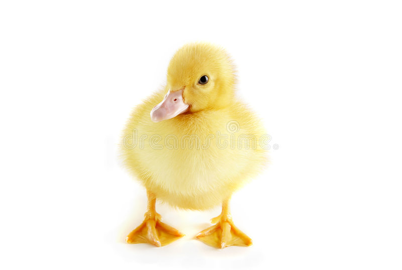 Cute duckling royalty free stock images