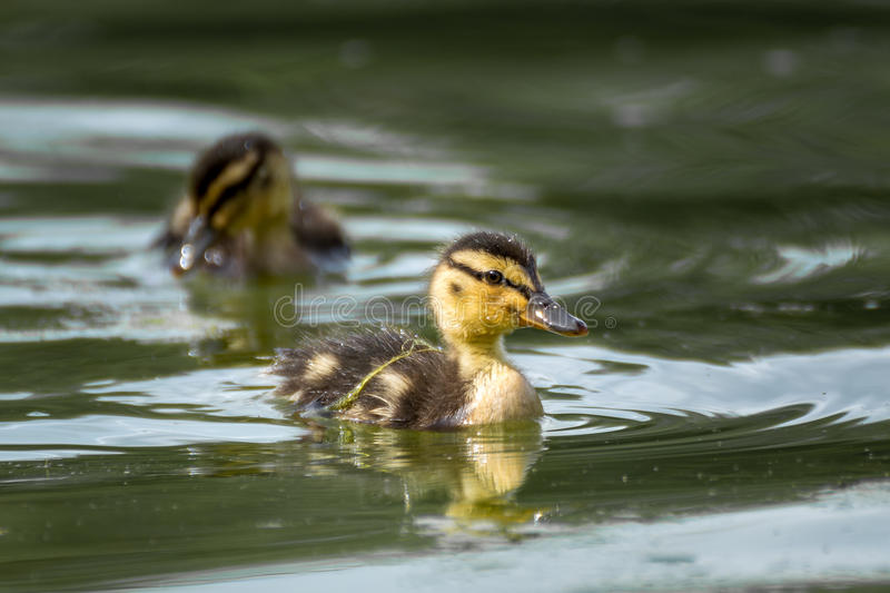 Cute duckling swimming on a lake stock photos