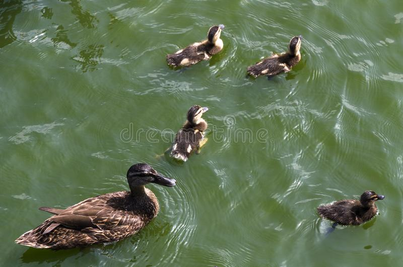 Cute ducklings following mother, lake, symbolic figurative harmonic peaceful animal family portrait following team royalty free stock photography