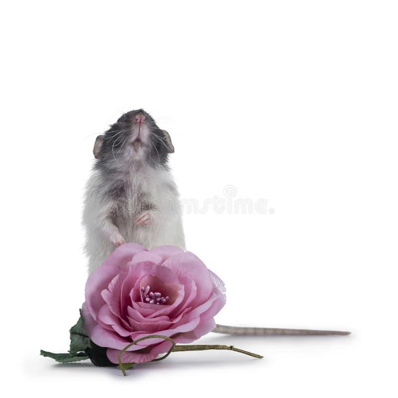 Cute dumbo rat on white background stock photo