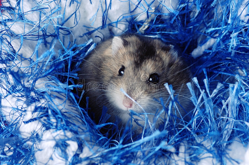 Cute Dwarf Hamster royalty free stock photos