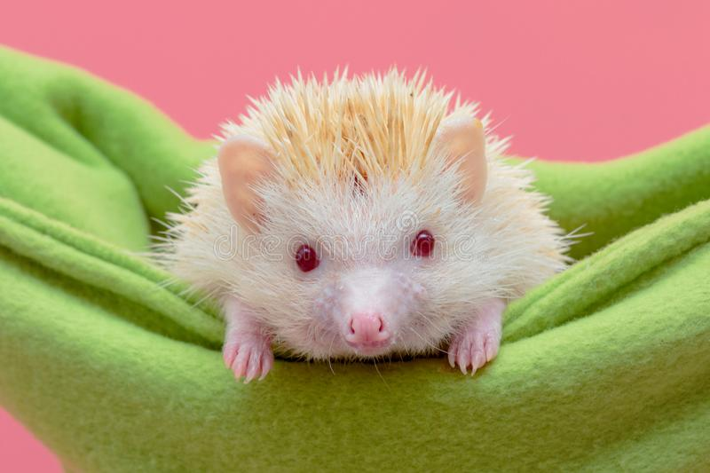 Dwarf hedgehog in green baby cot royalty free stock photo