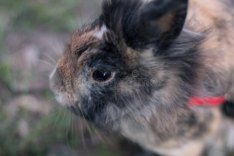 Cute dwarf rabbit stock images