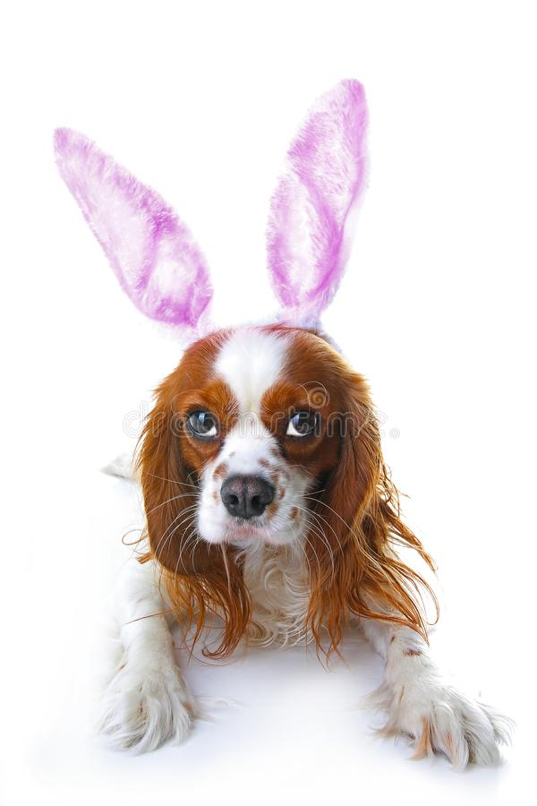 Cute easter bunny dog with rabbit ears. Happy Easter Holiday Cavalier king charles spaniel dog studio photos. Easter dog. On isolated white cut out. Cute stock images