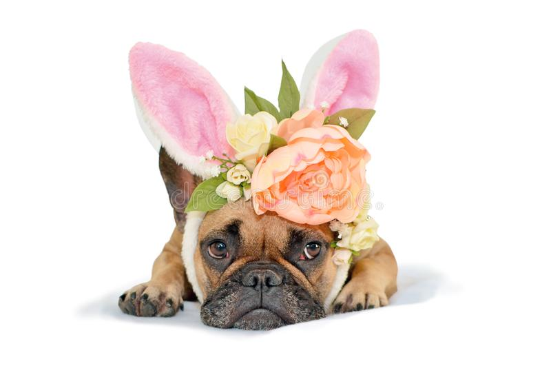 Cute easter bunny French Bulldog dog  lying on floor dressed up with peony and roses flower rabbit ears headband costume stock photo