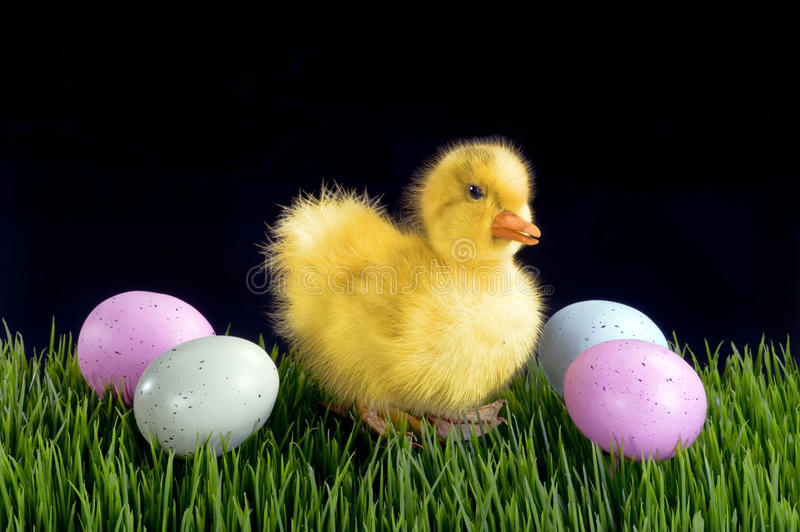 Cute Easter Duck. Cute little Easter duck and easter eggs royalty free stock photography