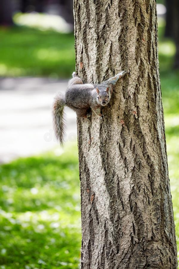 Eastern gray tree squirrel holding to a tree. Cute Eastern gray tree squirrel holding to a tree royalty free stock photography