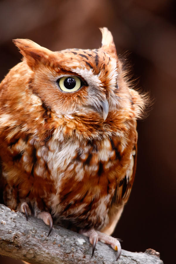 Cute Eastern Screech Owl Red Phase Stock Photo - Image of ...