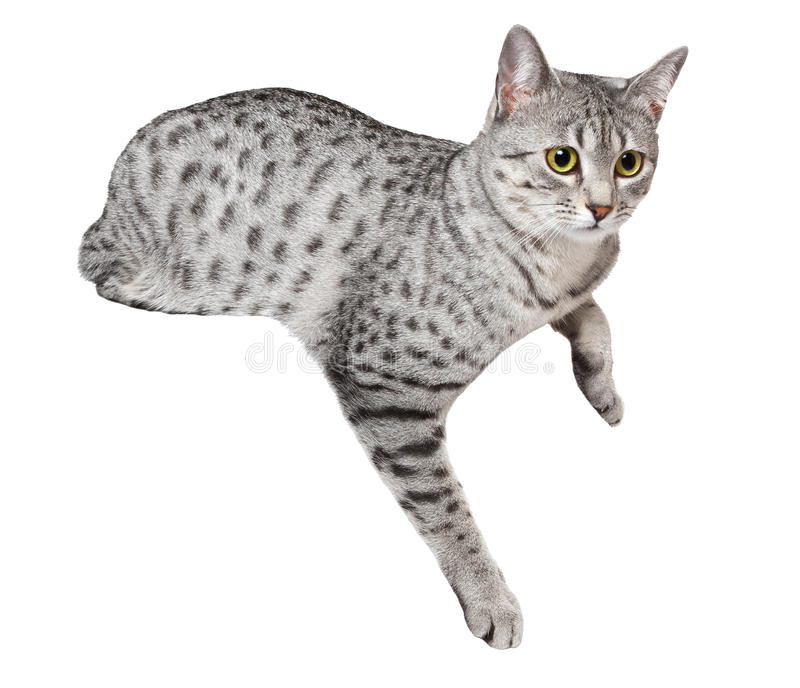 Download Cute Egyptian Mau Cat stock photo. Image of silver, gray - 22953596