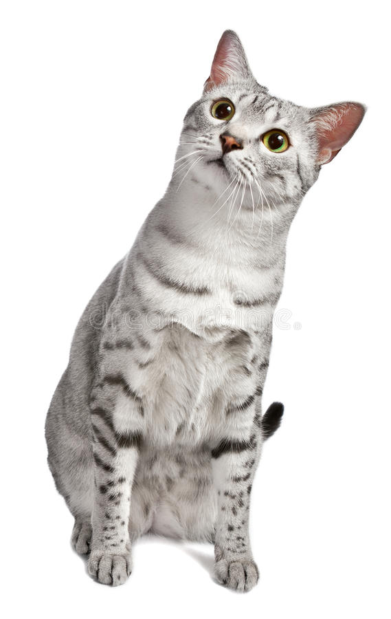 Download A Cute Egyptian Mau Looks At Camera Curiously Stock Photo - Image: 23451420