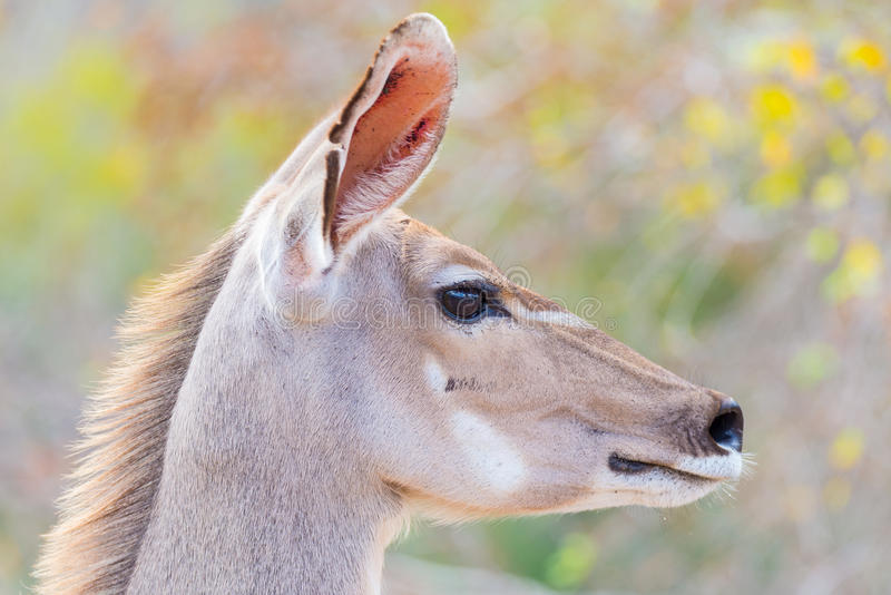 Cute elegant Kudu female head close up and portrait. Wildlife Safari in the Kruger National Park, the main travel destination in S. Outh Africa. Focused on eyes stock photography