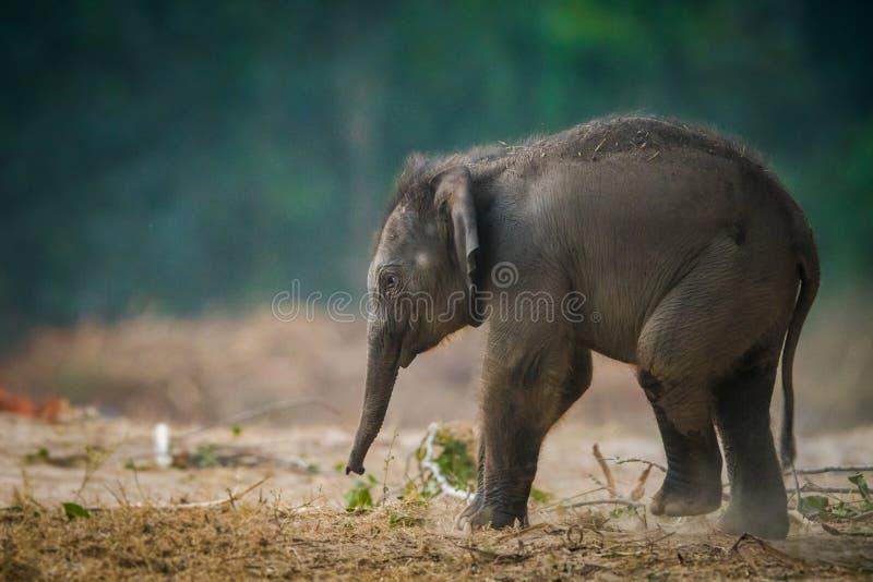 A cute elephant baby tusker portrait royalty free stock photos