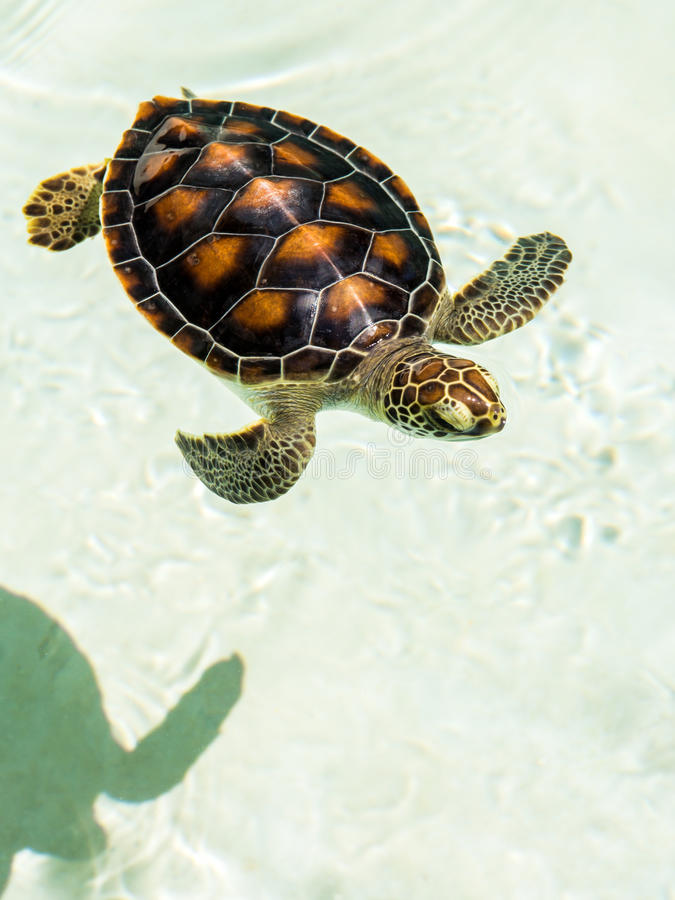 Cute endangered baby turtle. Swimming in crystal clear water stock photo