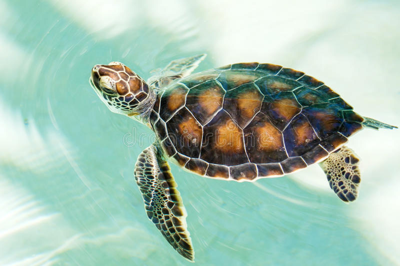 Download Cute Endangered Baby Turtle Stock Photo - Image: 41185370
