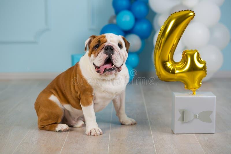 Cute english bulldog celebrating his 4 birthday party dog happy sitting in studio performance.  royalty free stock photos