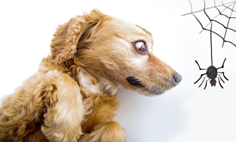 Cute English Cocker Spaniel puppy looking scared. In front of a white background with spider and web sketch royalty free stock images