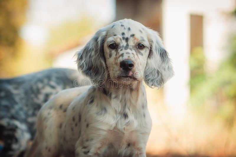 Cute english setter puppy playing outside. stock images