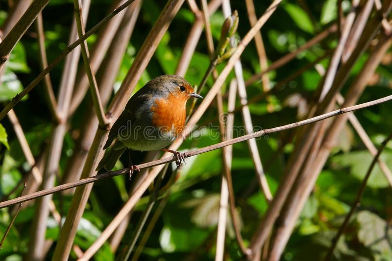 Cute European Robin / Erithacus rubecula bird perched on a branch in summer stock images