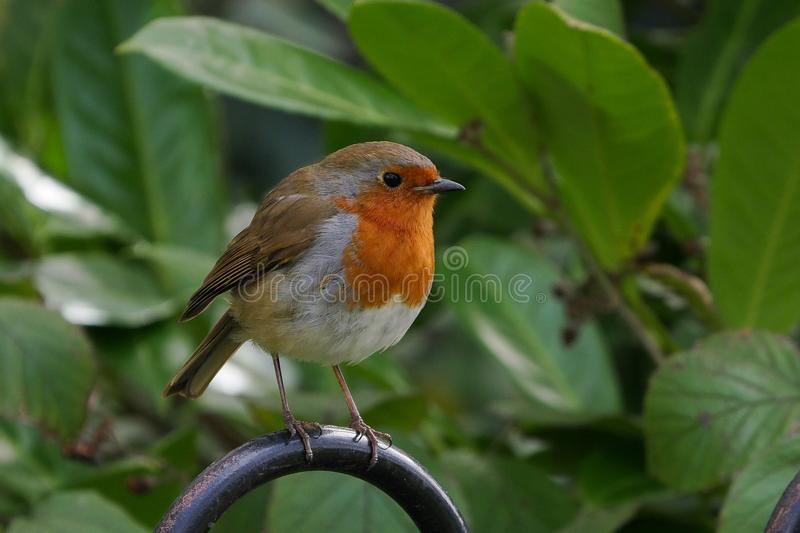 Cute European Robin / Erithacus rubecula bird perched on a metal fence in summer royalty free stock photography