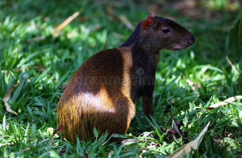 Cute exotic agouti little mammal rodent from Central south america in Costa Rica royalty free stock photo