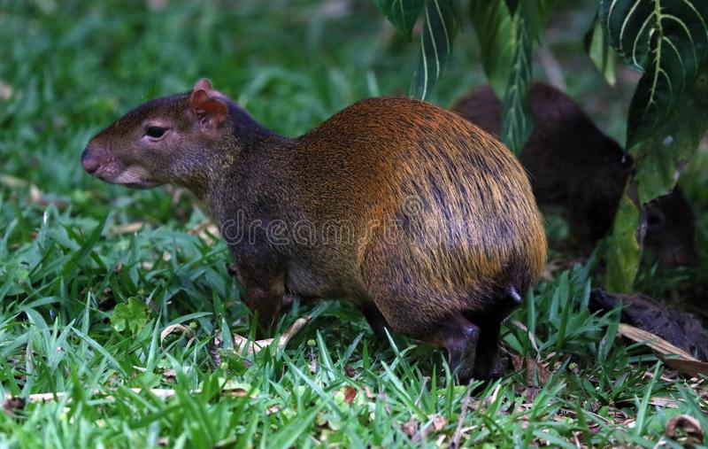Cute exotic agouti little mammal rodent from Central south america in Costa Rica stock photography