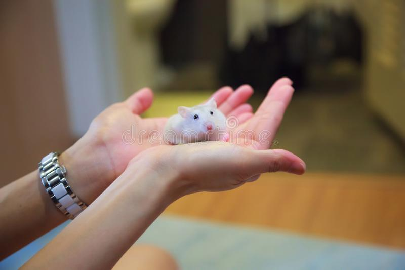 Cute Exotic Female Winter White Dwarf Hamster standing on owner palm hands. Winter White Hamster is known as Winter White Dwarf, D royalty free stock image