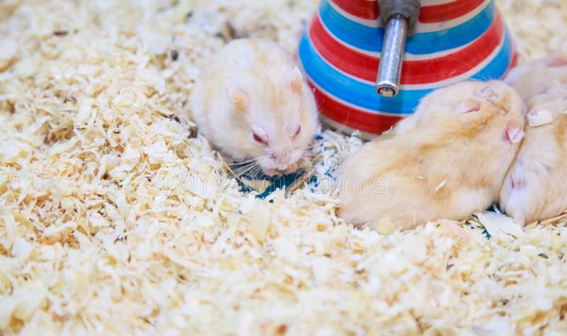 Cute Exotic Red-eyed Lilac Dwarf Campbell Hamster eating pet food. Campbell Hamster is known as Russian Dwarf, Siberian Dwarf, stock photography