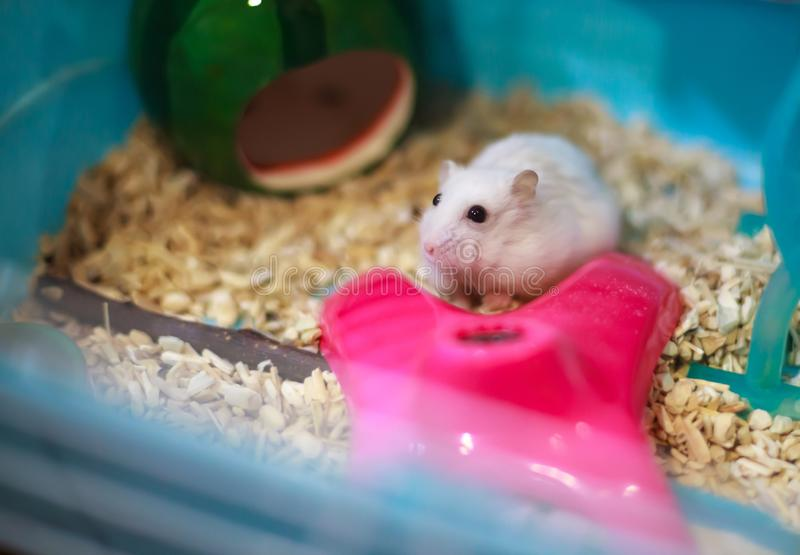 Cute Exotic Winter White Dwarf Hamster begging for pet food with innocent face. Winter White Hamster is also known as Winter White. Dwarf, Djungarian or royalty free stock photo
