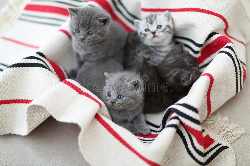 Cute face, newly born kittens looking up. Cute face, newly born kittens on a traditional handmade carpet, red striped rug royalty free stock image