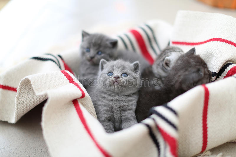 Cute face, newly born kittens looking up. Cute face, newly born kittens on a traditional handmade carpet, red striped rug stock images