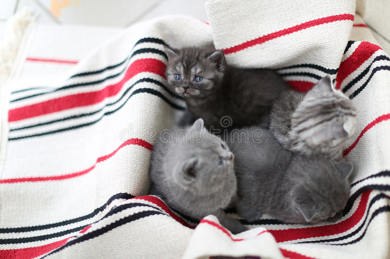 Cute face, newly born kittens looking up. Cute face, newly born kittens on a traditional handmade carpet, red striped rug royalty free stock photo