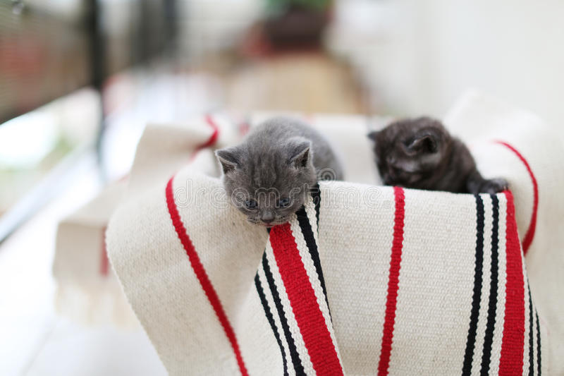 Cute face, newly born kittens. On a traditional handmade carpet, red striped rug stock photography