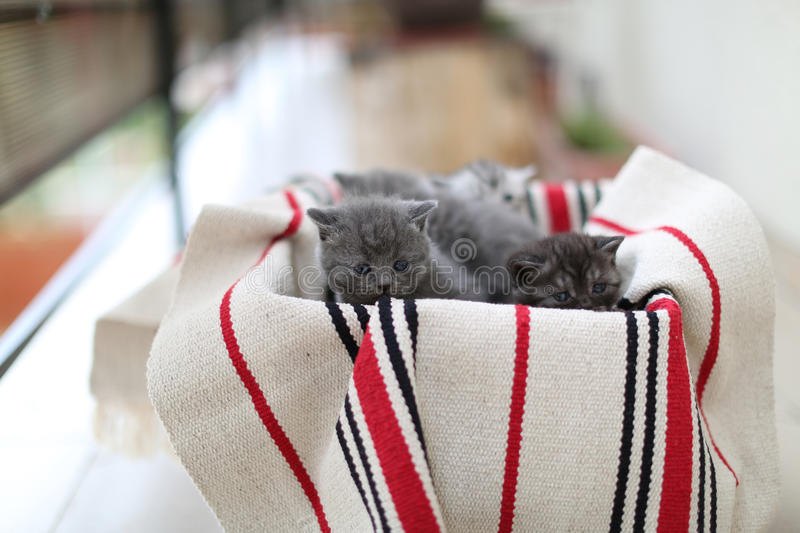 Cute face, newly born kittens. On a traditional handmade carpet, red striped rug royalty free stock photo