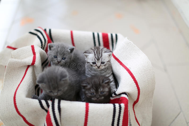 Cute face, newly born kittens. On a traditional handmade carpet, red striped rug royalty free stock photos