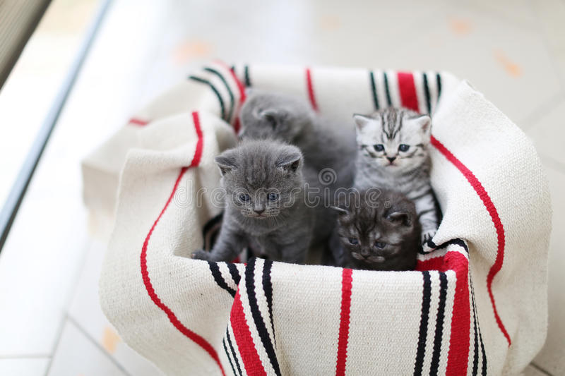 Cute face, newly born kittens. On a traditional handmade carpet, red striped rug royalty free stock image