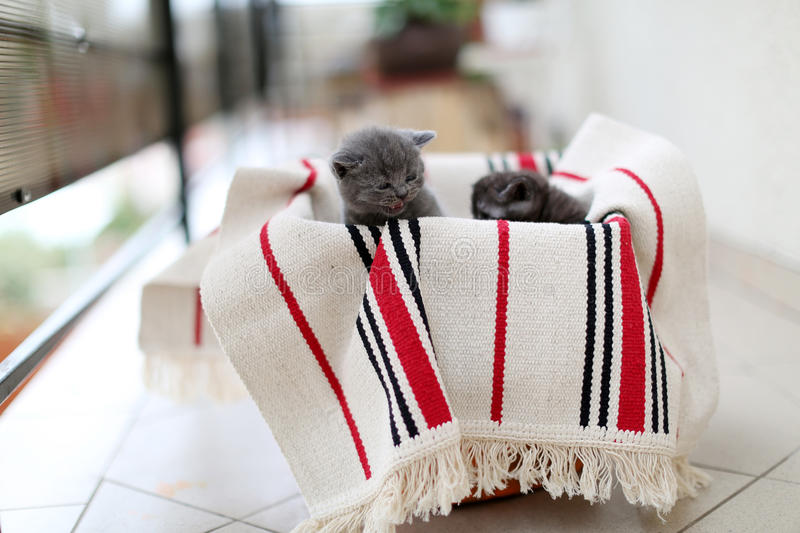 Cute face, newly born kittens. On a traditional handmade carpet, red striped rug royalty free stock photography