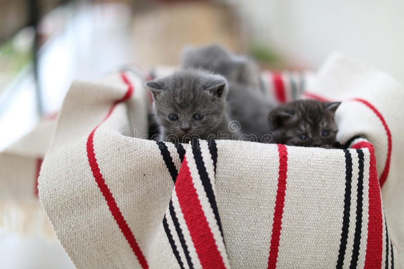 Cute face, newly born kittens. On a traditional handmade carpet, red striped rug stock photos