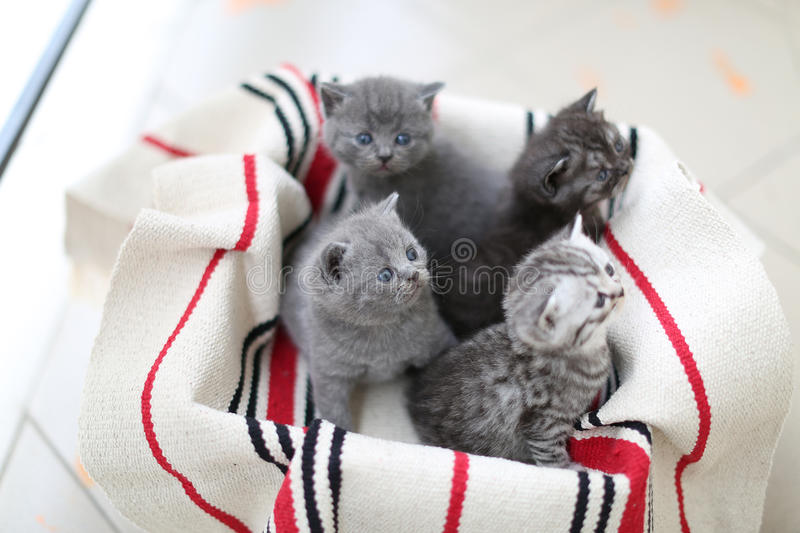 Cute face, newly born kittens. On a traditional handmade carpet, red striped rug stock photo