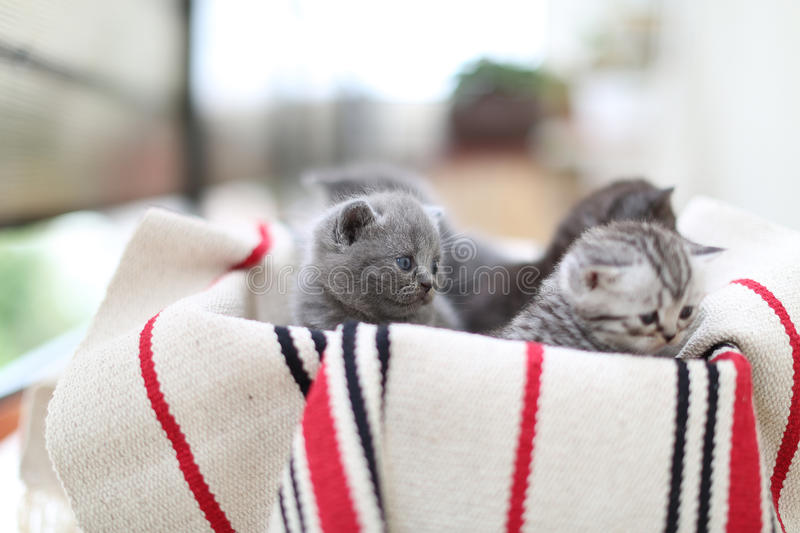 Cute face, newly born kittens. On a traditional handmade carpet, red striped rug stock images