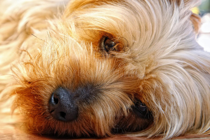 Cute Face of a Silky Terrier (Yorkie Relative) stock photography