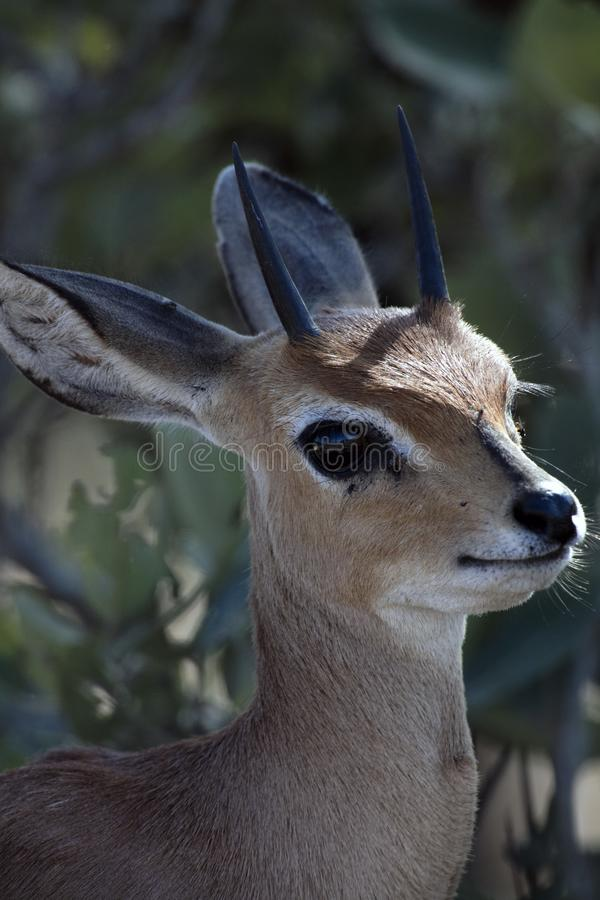 Cute faced silhouette african grey duiker stock photo