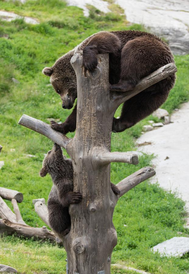 Cute family of brown bear mother bear and its baby cub playing on a tree trunk climbing and biting. Ursus arctos. Beringianus. Kamchatka bear stock photos