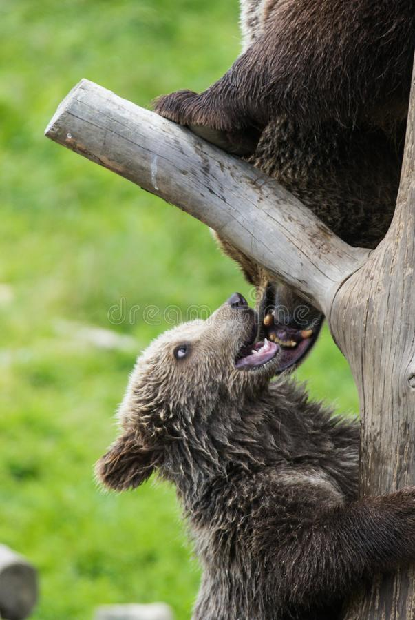 Cute family of brown bear mother bear and its baby cub playing on a tree trunk climbing and biting. Ursus arctos. Beringianus. Kamchatka bear stock photography