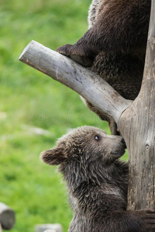 Cute family of brown bear mother bear and its baby cub playing on a tree trunk climbing and biting. Ursus arctos. Beringianus. Kamchatka bear royalty free stock photos
