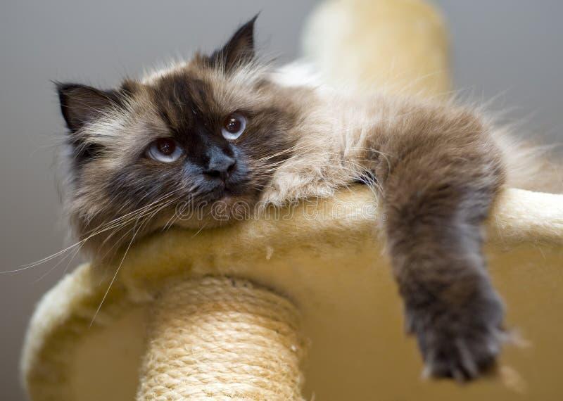Cute family cat lying