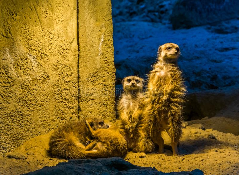 Cute family portrait of meerkats together, two standing and two playing on the ground, popular zoo animals and pets stock photos